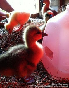 Brooder waterer for ducklings