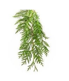 Certified Organic Cedarwood Essential Oil – Pure Certified Organic Cedarwood Oil Wholesale Suppliers and Manufacturers, India