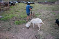 A day in the life of Tom Kendall - PermEco Inc. Sunshine Coast, The Life, Permaculture, Kendall, The Fosters, Goats, Day, Animals, Animaux