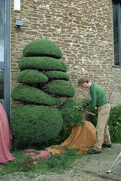 They were famous fruit trees, because of the delicious berry fruits that were abundantly produced by fast growing trees—loaded with huge green leaves that Garden Landscaping, Garden Shrubs, Outdoor Gardens, Beautiful Gardens, Small Garden Design, Topiary Garden, Japanese Garden, Plants, Topiary