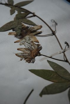 Blue passionflower pressed on a herbarium sheet years old.