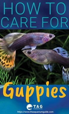 How to care for guppies. Caring for guppies can be easy as it is one of the low maintenance fish for beginners. But if you are looking into breeding it and more, you should check out this post. How to care for guppies. Caring for guppies can be eas Tropical Freshwater Fish, Tropical Fish Tanks, Freshwater Aquarium Fish, Aquarium Fish Tank, Fish Aquariums, Aquarium Ideas, Planted Aquarium, Guppy, Platy Fish
