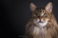 SC Penogacats Jesslyn of Tempus Fugit - Maine Coon © Cat'chy Images 2014