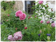 """Mary Rose"" in May ♥ My Garden in Austria ♥"