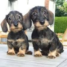 My Heart Wire Haired Dachshund Dachshund Puppies
