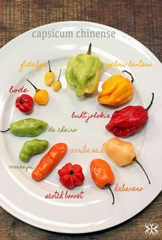 Little guide about peppers- Pequeno guia sobre pimentas chinense capsicum – chinense peppers - Capsicum Chinense, Tummy Yummy, Dehydrator Recipes, Stuffed Hot Peppers, Fruits And Veggies, Diy Food, Pizza Recipes, Food And Drink, Favorite Recipes
