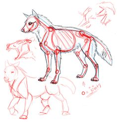Detailed project of the muscle structure of a digitigrade biped, in this case a wolf from my comic. The bone structure and some other things are visible here: