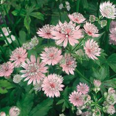 Astrance - Astrantia major Rosea /  Exposition Mi-ombre, Ombre - Fleurit en Juin à Juil - Hauteur : 60 cm