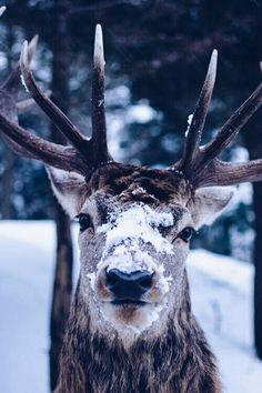 "Wise wapiti by Maxime Plantady via. "" Wise wapiti by Maxime Plantady via "" Beautiful Creatures, Animals Beautiful, Beautiful Images, Animals And Pets, Cute Animals, Wild Animals, Vida Animal, I Love Winter, 2015 Winter"