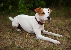 small short haired dog breeds image