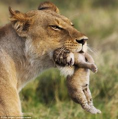 'This isn't very comfortable, mum': Tender moment lioness carries her cubs to safety after buffalo attack Small Wild Cats, Big Cats, Cats And Kittens, Cute Cats, Beautiful Cats, Animals Beautiful, Cute Baby Animals, Animals And Pets, Lioness And Cubs