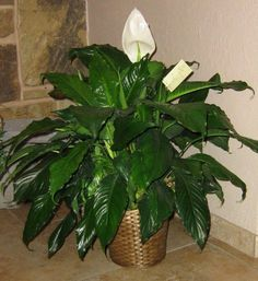 The beautiful peace lily is a great houseplant that is very hardy and easy to look after. However, to get the best out of it you need to know how to look after it, so look no further. Peace Lily Plant Care, Peace Plant, Garden Plants, Indoor Plants, House Plants, Indoor Garden, Potted Plants, House Plant Care, Real Plants