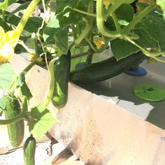 Growing #aeroponics #cucumbers #deweymisteraeroponics #homegrown #vegetables #growyourown #GrowingSolutions  #outdoorgarden by deweymister1