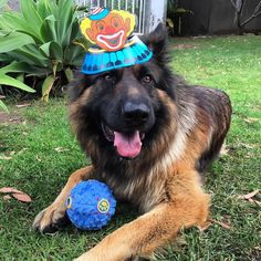 Happy Birthday  Featured account @rajtheshepherd  #germanshepherds #gsdsofigworld #gsd #happybirthday #birthday #woohoo #dogsofinstagram #dog #gsdofinstagram by gsdsofigworld