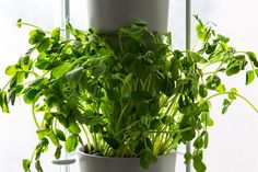 Windowfarms Hydroponic Indoor Garden: grow herbs and veggies all year round