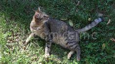 Video about Cat on carefully prey - ready to pounce. Video of mammal, habitat, pounce - 76729804 Mammals, Habitats, Cats, Image, Gatos, Kitty Cats, Cat Breeds, Kitty, Cat