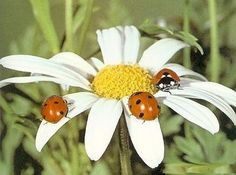 My two passions: daisies and ladybugs!