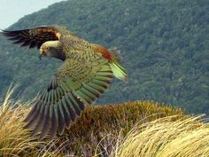 A Kea! Our first sighting of the world's only alpine parrot. It was inquisitive and came up to see if we had any food