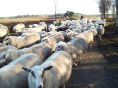 schaapskudde heerde-epe Team Building, Goats, Horses, Animals, Facebook, Blog, Animales, Animaux, Animal