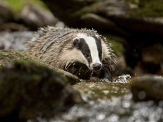 Ireland is home to one of the world's healthiest populations of badgers, with new research shedding light on just why they are such successful breeders. Female badgers, it turns out, can carry young from multiple fathers at the same time, while also suspending the implantation of an embryo following fertilisation.