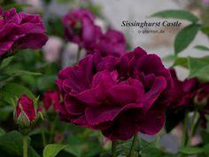 """""""Sissinghurst Castle"""" Rose Photo by German Rose grower on HelpMeFind.com O-Planten"""