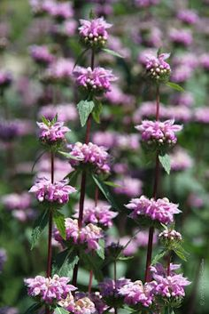 Phlomis Tuberosa bloeitijd 6-7 120-150 cm zon. Mooi in combinatie met: venkel (Foeniculum), Virginische ereprijs (Veronicastrum), salie (Salvia nemorosa), zonnehoed (Echinacea) en siergrassen zoals het vingergras (Panicum)