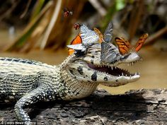 Caiman Spotted Wearing a Crown of Beautiful Butterflies Photographer Mark Cowan captured this wonderful image in the Amazon of a caiman wearing a crown of b