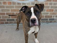 TO BE DESTROYED FRIDAY, 3/21/14- Brooklyn Center -P   My name is SAPPHIRE. My Animal ID # is A0993324.  I am a female br brindle and white pit bull mix. The shelter thinks I am about 3 YEARS old.   I came in the shelter as a STRAY on 03/07/2014 from NY 11213, owner surrender reason stated was OWN EVICT.