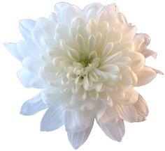 transparent-flowers:  WhiteChrysanthemum. (x).