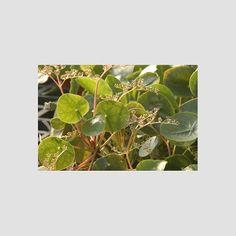 Kakteen Haage | Pilea peperomioides | online kaufen