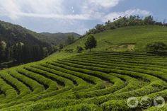Boseong Green Tea Plantation