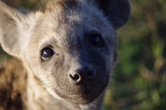 A hyena can be adorable