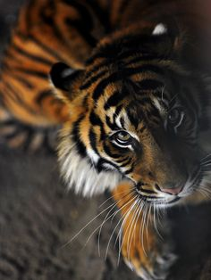 posting this Beautiful Tiger for my friend Cindy.  She's Tiger lover from way back when.. lol