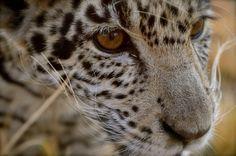 Photo competition:  Up Close  Entry from: Beth Bellion  Image title: Leopard cub  Digital camera: Nikon D5100 SLR digital camera, Nikkor 18-55mm, ISO 200, 1/80, f/5.6.