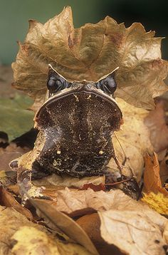 Asian Leaf Frog | Gail Shumway