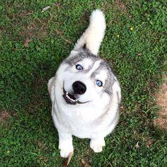 Siberian Husky with beautiful blue eyes