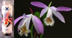 Vaso coctelero de Celebrity Cruises con la representación de la orquídea Pleione formosana.  Celebrity Cruises tall satin frost drinking glass orchid design: Pleione formosana.