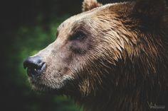"""Beautiful Brown Bear - Stay in touch! <a href=""""https://www.facebook.com/veerlevdbold"""">F a c e b o o k</a>, <a href=""""http://www.youtube.com/subscription_center?add_user=Veerlevdbold"""">Y o u t u b e</a>"""