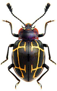 Sinocymbachus sp.