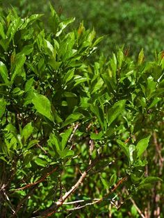 Ilex verticillata Jim Dandy Special Item  Winterberry Holly  Type: Shrubs  Height: Medium to tall 3-6' (Plant 6' apart)  Bloom Time: Late Spring to Early Summer  Sun-Shade: Full Sun to Mostly Sunny