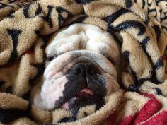 ❤ Blanche ~ incognito bulldog ❤ AC