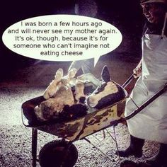 dairy contains more suffering than beef.