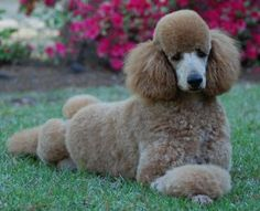 Am I a Beauty or what?---Red Hunting Poodles - Bing Images