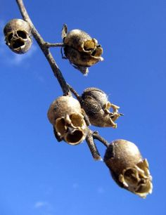 amazing flowers snapdragons skull, actually it's not a flower, it contains the seeds