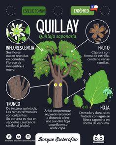 Quillay , Quillaja saponaria #flora #floranima #bosqueesclerofilo #esclerofilo #sclerophyll #quillay #infografia #infographic