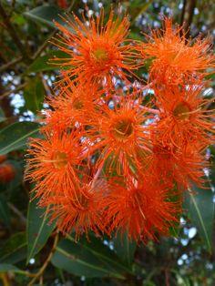 West Australian Red-flowering Gums.