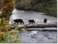 Canada - contrary to popular belief,  bear's don't just walk around town, you have to go LOOKING for them.