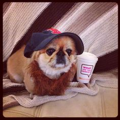 """I wonder who """"Punkin"""" is rooting for... the Boston Red Sox or St. Louis Cardinals ?   She even stole my hot cup of happiness a la Dunkin' Donuts what is Your Dog watching? ;o)  #RedSoxNation #RedDog #RedBeard #WorldSeries #GameTwo"""