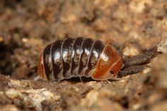 CRUSTACEA (Crustáceo) - Ordem Isopoda.  /  CRUSTACEA (Crustacean) - Order Isopoda.