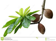 mamey-sapote-couzmel-fruit-branch-isolated-white-background-46978915.jpg (1300×957)